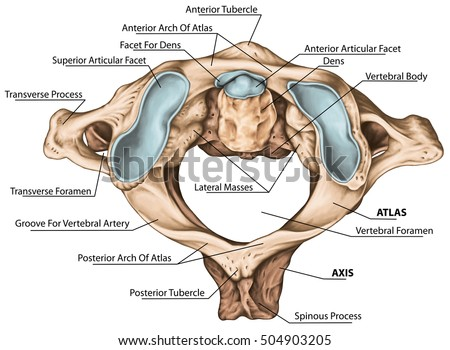 Cervical Spine Vertebral Morphology First Second Stock Illustration ...