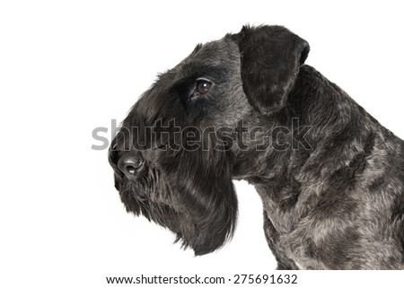 Cesky Terrier black dog on white background - stock photo