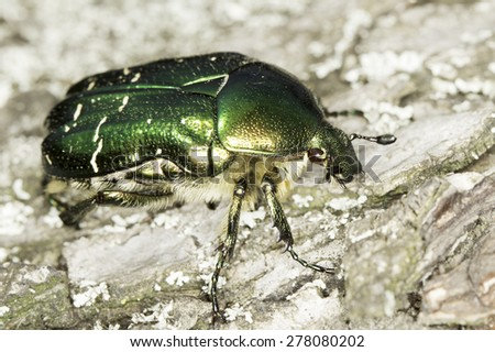 Cetonia aurata / green chafer rose in natural habitat - stock photo