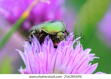 Cetonia aurata (The green rose chafer) on a chive flowers - stock photo