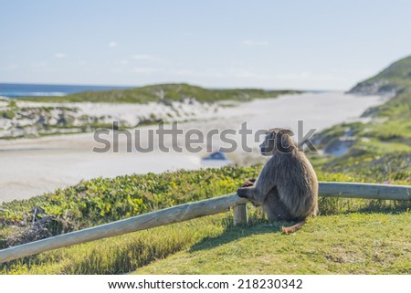 Chacma Baboon at Cape Point, located near the city of Cape Town, South Africa. The peninsula has towering rock cliffs that overlook the beautiful ocean view. A tourism and travel hot spot. - stock photo