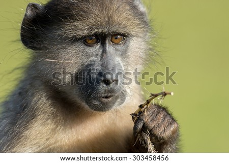 Chacma baboon eating near Cape Point outside of Simon's Town, South Africa. - stock photo