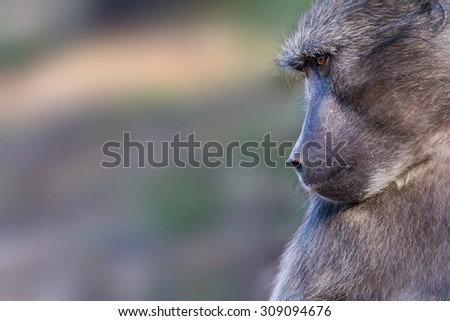 Chacma baboon in natural habitat isolated against blurred background