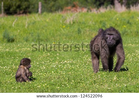 Chacma baboon mother and infant feeding on green pasture - stock photo