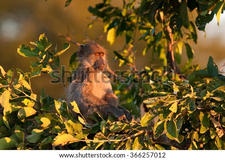 chacma baboon, Papio ursinus - stock photo