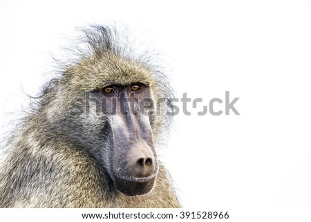Chacma baboon  portrait isolated in white background ;  Specie Papio ursinus family of Cercopithecidae - stock photo