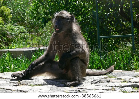 Chacma Baboon sitting in Hermanus Botanical Garden, Hermanus, South Africa