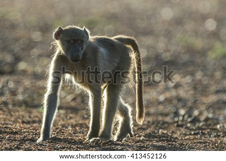 Chacma baboon walking on desert soil