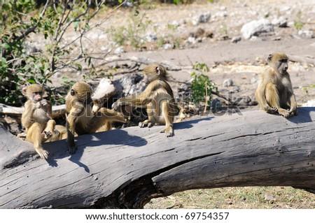 Chacma baboons - stock photo
