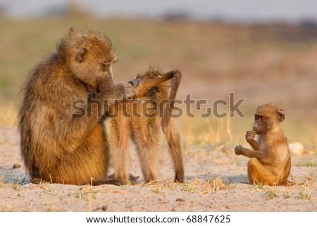 Chacma Baboons, Chobe National Park, Botswana - stock photo