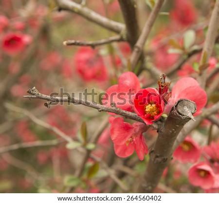 Chaenomeles japonica sreciosa - stock photo