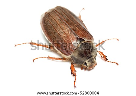 Chafer isolated on white. Macro - stock photo
