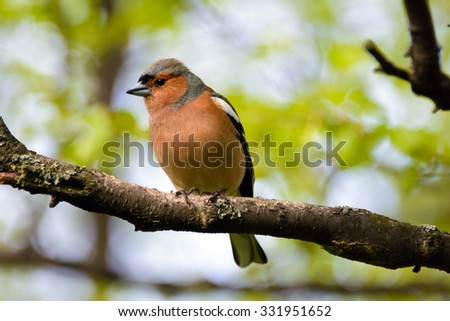Chaffinch bird, Fringílla coélebs, songbird of the family of finches, bird on branch in the Park, distributed in Europe, Western Asia and North Africa, settles in the East, wild nature. - stock photo