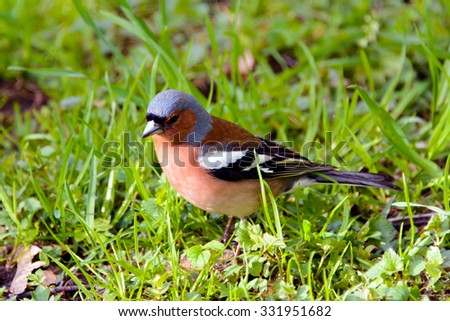 Chaffinch bird, Fringílla coélebs, songbird of the Finch family, common in Europe, Western Asia and North Africa; settles in the East, wild nature, forest in summer, wild animals are migratory. - stock photo