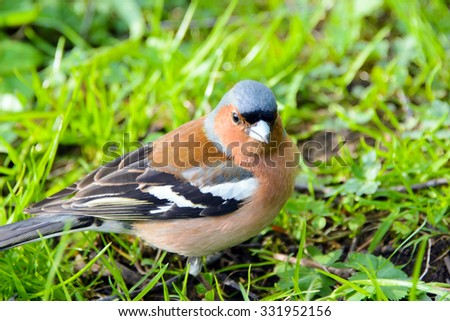 Chaffinch bird, Fringílla coélebs, songbird of the Finch family, common in Europe, Western Asia and North Africa; settles in the East, wild nature, forest in summer, animals are migratory. - stock photo