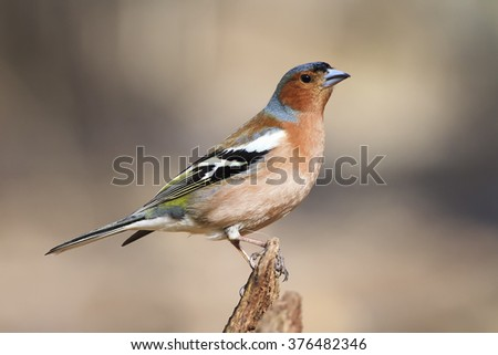 Chaffinch bird singing on branch in spring song - stock photo