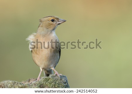 Chaffinch female - stock photo