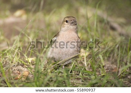 chaffinch female on the grass - stock photo