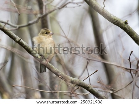 Chaffinch (Female) spotted in woodland in London, UK  - stock photo