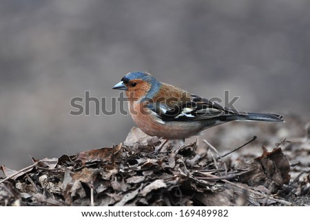 Chaffinch, Fringilla coelebs - stock photo