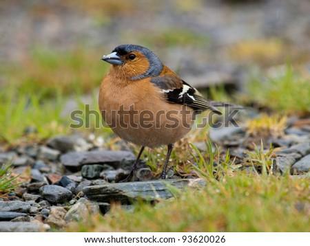 chaffinch (Fringilla coelebs) - stock photo