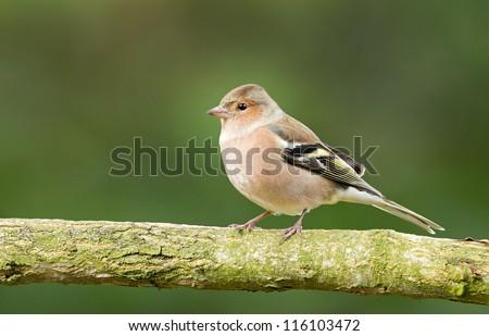 Chaffinch (Fringilla coelebs) on a branch. - stock photo