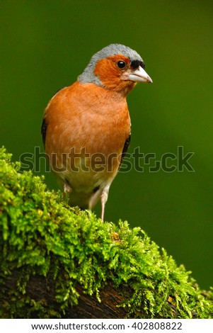 Chaffinch, Fringilla coelebs, orange songbird sitting on the nice lichen tree branch with, little bird in nature forest habitat, clear green background, Germany - stock photo