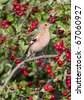 Chaffinch (Fringilla coelebs) perched in a hawthorn edge - stock photo