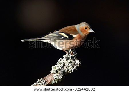 Chaffinch (Fringilla coelebs) sitting on a tree branch, Cairngorms National Park, Scotland, United Kingdom