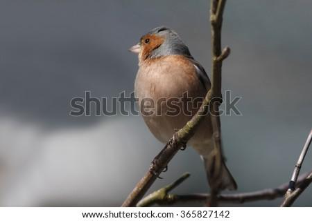 Chaffinch (Fringilla coelebs) sitting on a tree branch, Cairngorms National Park, Scotland, United Kingdom - stock photo