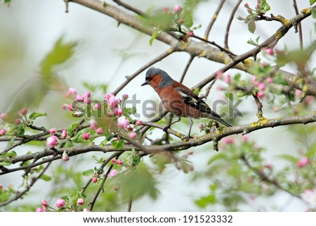 Chaffinch in blooming apple tree - stock photo