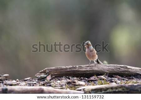 chaffinch in nature - stock photo