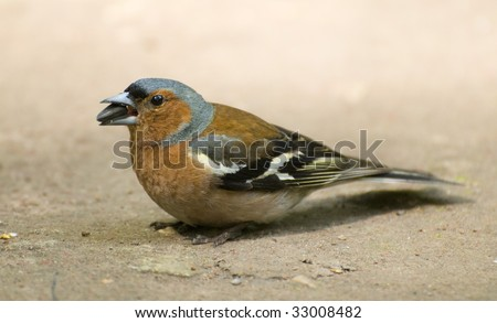 chaffinch in the ground 2