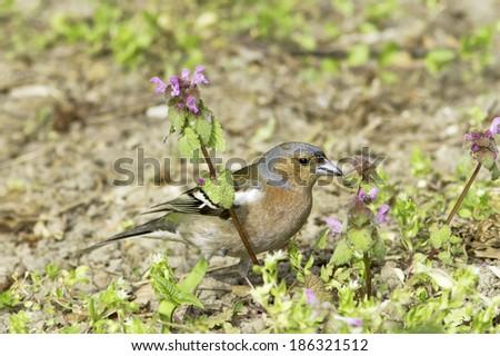 chaffinch male in natural habitat / Fringilla coelebs  - stock photo
