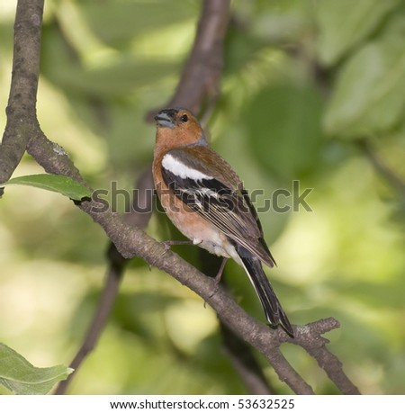 chaffinch on a tree - stock photo