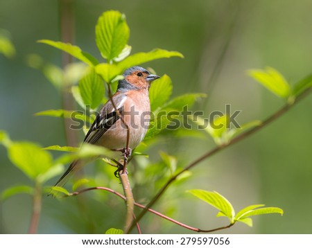 chaffinch portrait on green branch in spring - stock photo