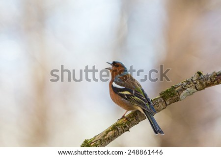 Chaffinch singing from a tree branch at spring - stock photo