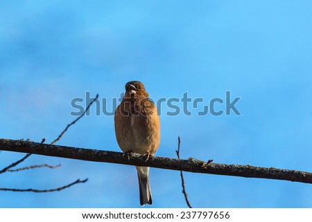 Chaffinch singing on a tree  - stock photo