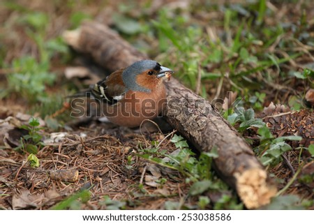 Chaffinch sits next to the branch holding a nut in the beak in spring - stock photo