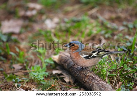 Chaffinch sits on the branch in spring time - stock photo
