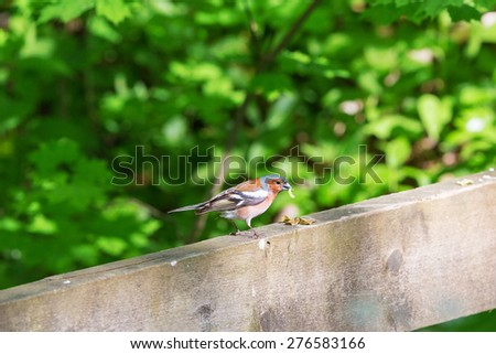 Chaffinch with a caterpillar in its beak sitting on a railing - stock photo