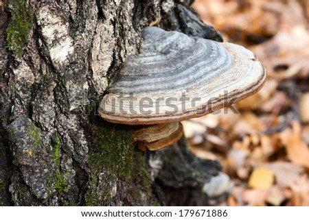 Chaga mushrooms in autumn forest