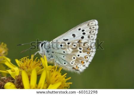Chalkhill Blue Butterfly - Lysandra coridon Underside on Ragwort flower - stock photo
