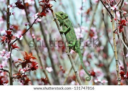 Chamaeleo chamaeleon hunting and waiting for his prey. - stock photo