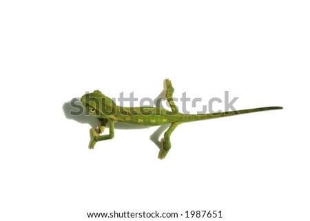 chameleon 4 - stock photo