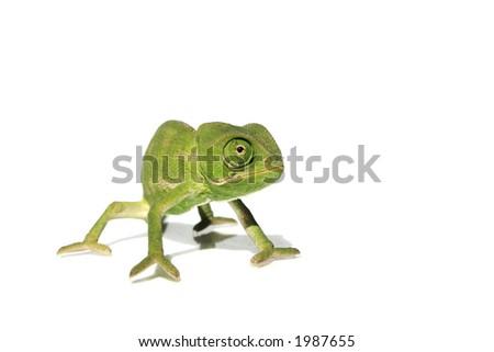 chameleon 8 - stock photo