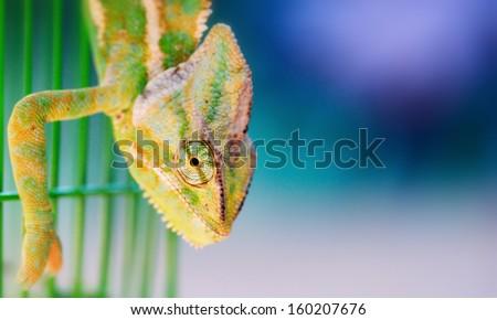 Chameleon Chamaeleonidae  - stock photo