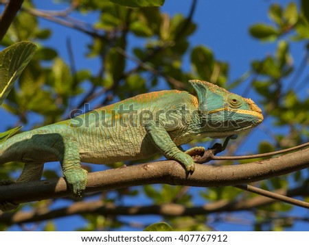 Chameleon climbing on the branch of the tree, Madagascar - stock photo