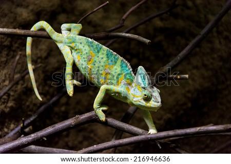 Chameleon - grown up chameleon walking on branches  - stock photo