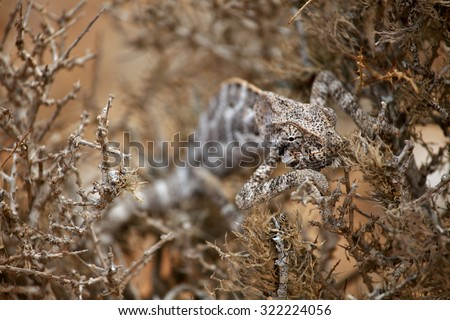 Chameleon hiding in bush - Socotra island, Yemen - stock photo